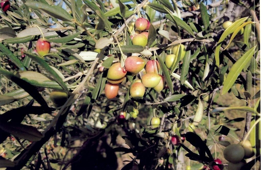 Olivière Oliven